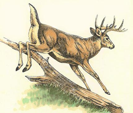 Deer Drawing Deer Sketch Drawing Picture